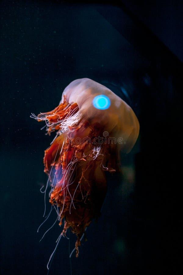 在水族馆的黑背景隔绝的美丽的五颜六色的橙色桃红色水母 库存照片