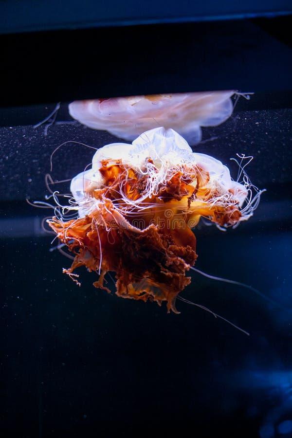在水族馆的黑背景隔绝的美丽的五颜六色的橙色桃红色水母 库存图片