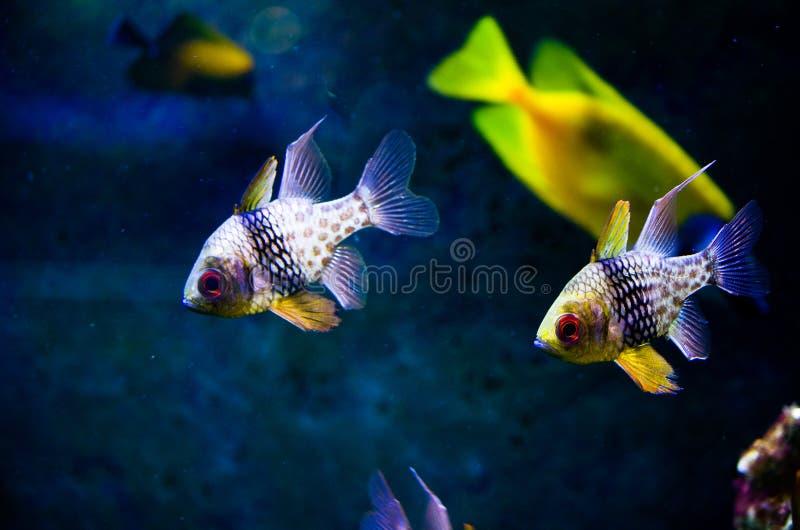 在水族馆的Apogon鱼 库存图片