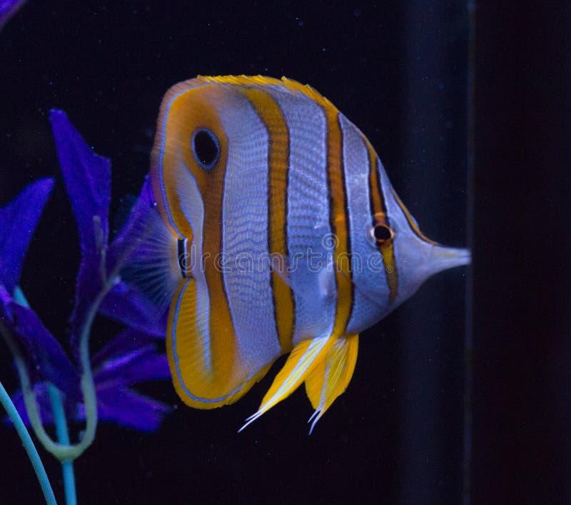 在水族馆的Copperband蝴蝶鱼 库存图片