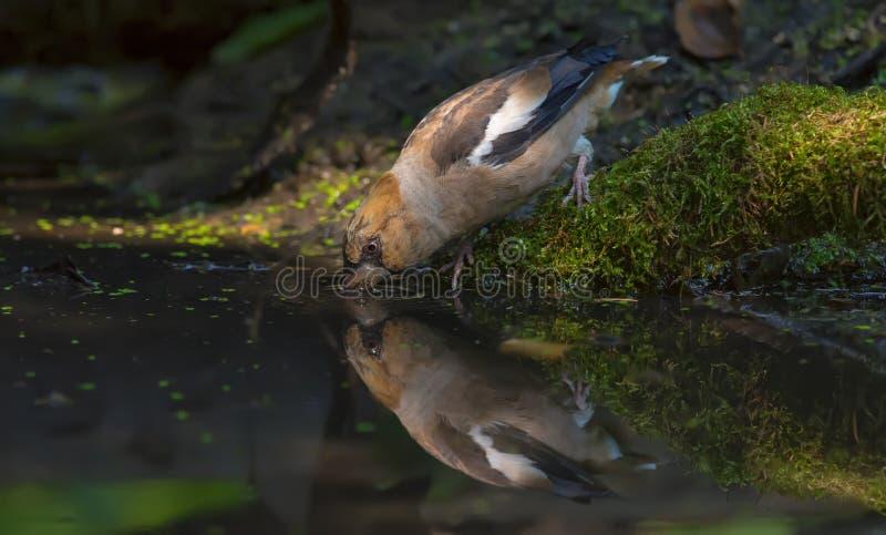 在水池生苔岸的蜡嘴鸟饮用水  免版税库存照片