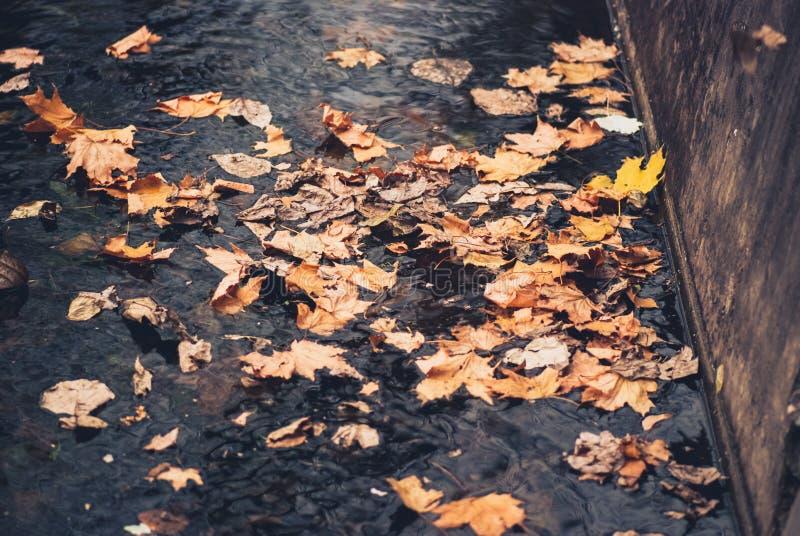 在水池的秋天黄色mapple叶子 库存图片