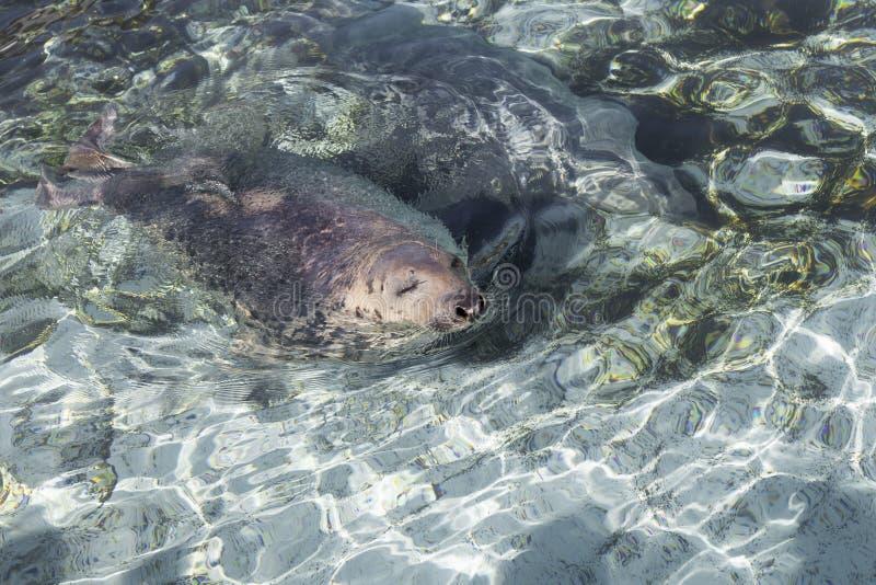 在水池的逗人喜爱的格陵兰海豹游泳与在水外面的头和眼睛关闭了 免版税库存图片
