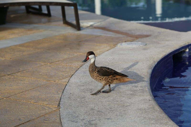 在水池的野鸭在多米尼加共和国 免版税图库摄影