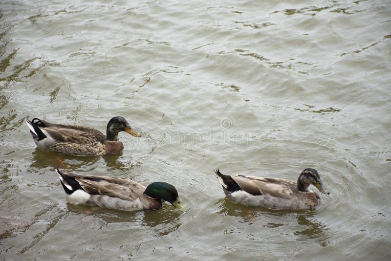 在水池的鸭子游泳在庭院里 库存照片