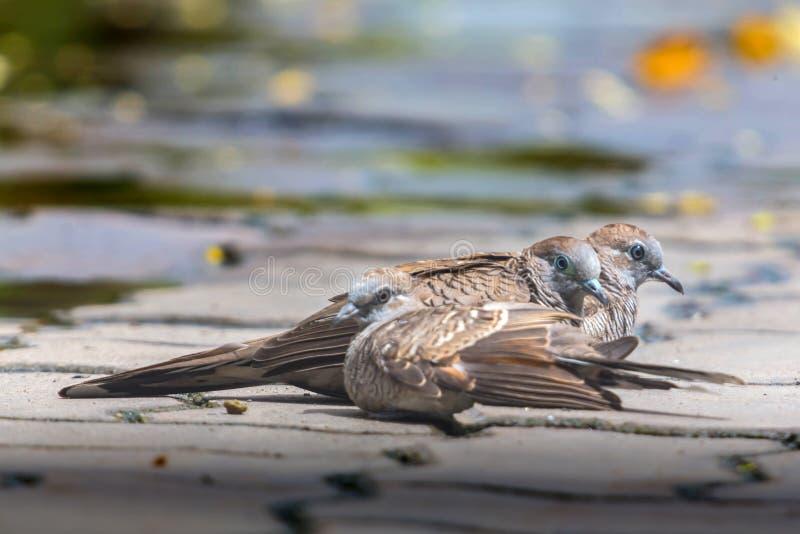 在水泥地板上的三只鸠 面对同样的2只鸟 另一只鸟坐面对另一边 库存照片