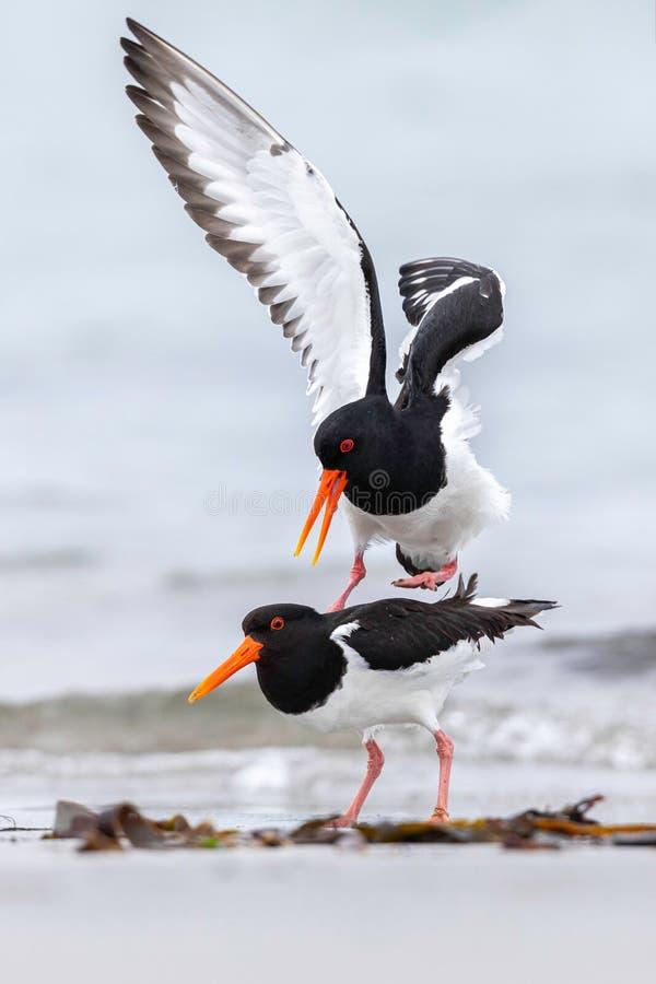在水海岸的一只kivi鸟 库存图片
