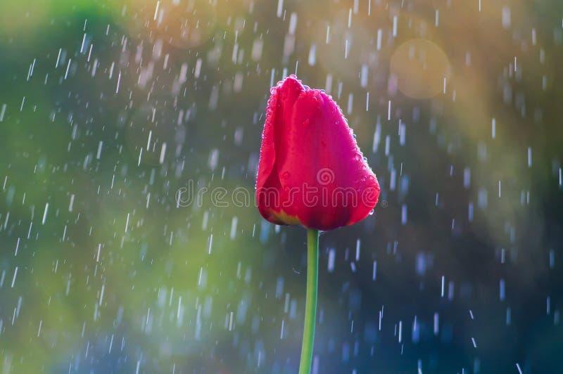 在水滴的红色郁金香在春雨中 图库摄影