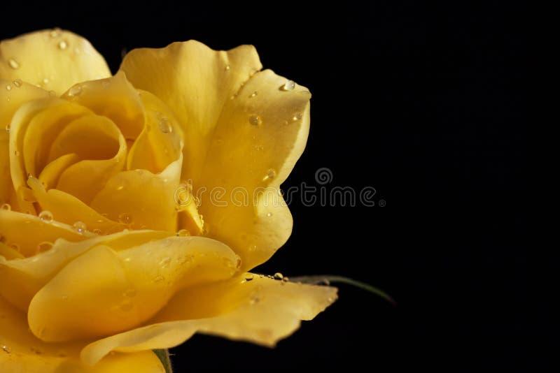 在水滴的美丽的黄色玫瑰在黑背景的 花特写镜头的一半和文本的一个空的地方 免版税图库摄影