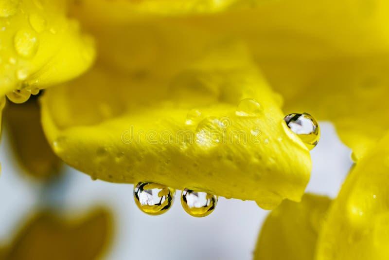 在水滴的黄色花瓣特写镜头  免版税库存照片