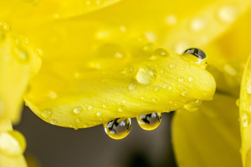 在水滴的黄色花瓣特写镜头  库存照片