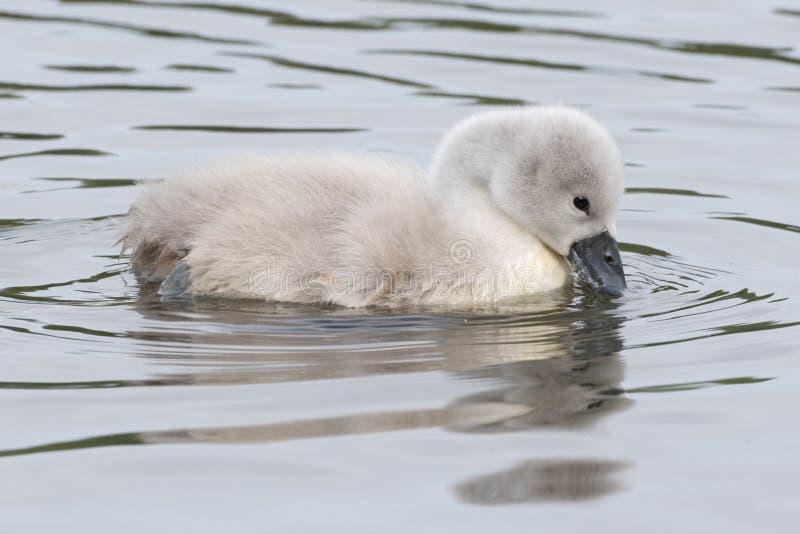 在水的一只小天鹅 免版税库存照片