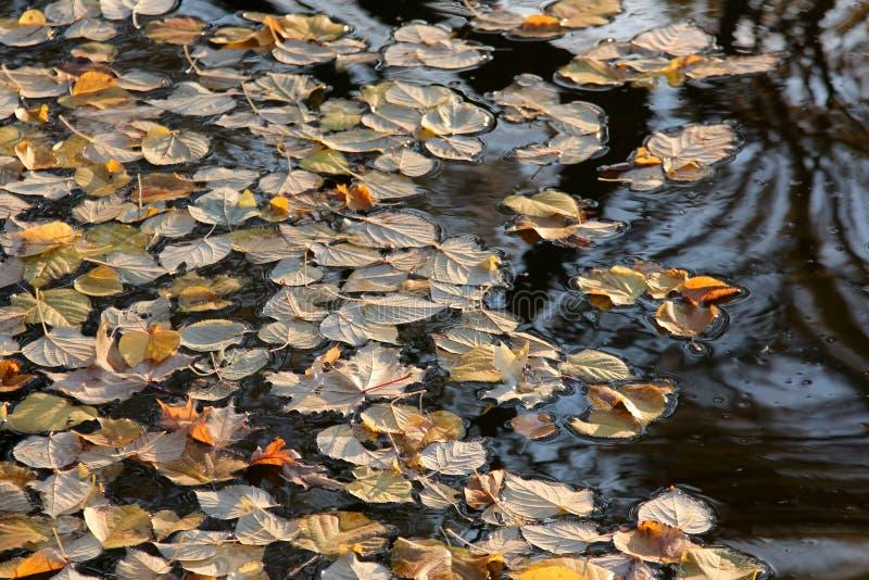 在水的下落的黄色秋叶 免版税图库摄影