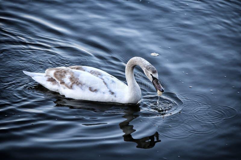 在水的大天鹅游泳对右边和吃的 免版税库存图片