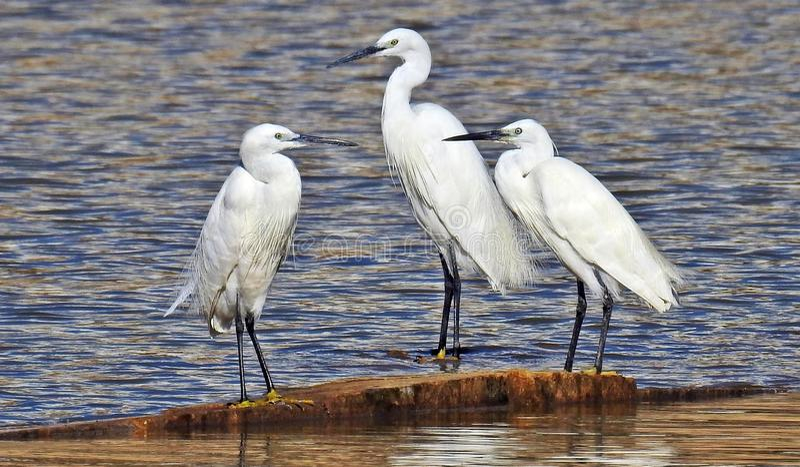 在水的小白鹭渐近 免版税库存照片