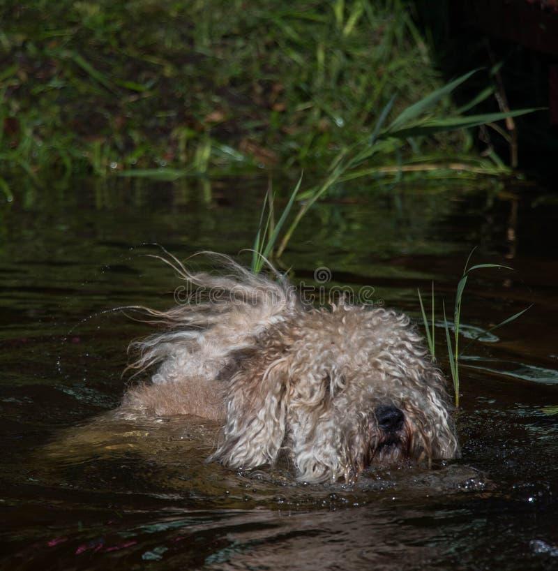 在水的毛茸的狗游泳与芦苇suuny夏日 库存图片