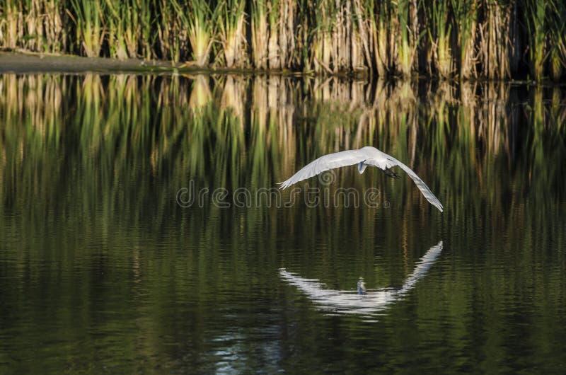 在水的白鹭曲拱 库存图片