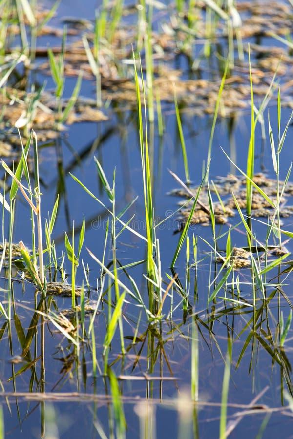 在水的芦苇在湖本质上 图库摄影