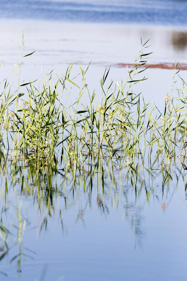在水的芦苇在湖本质上 免版税库存照片