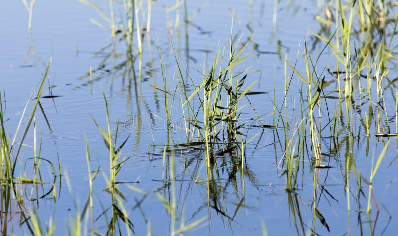 在水的芦苇在湖本质上 免版税图库摄影