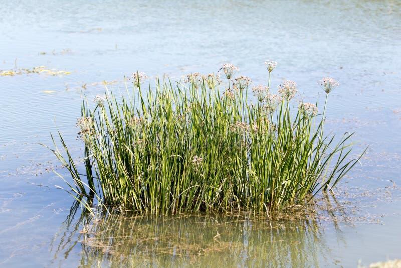 在水的芦苇在湖本质上 库存照片