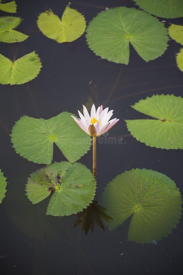 在水的花 库存图片
