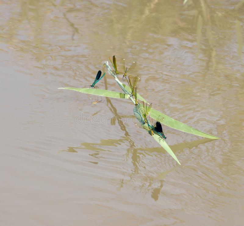 在水的蜻蜓本质上 免版税库存图片
