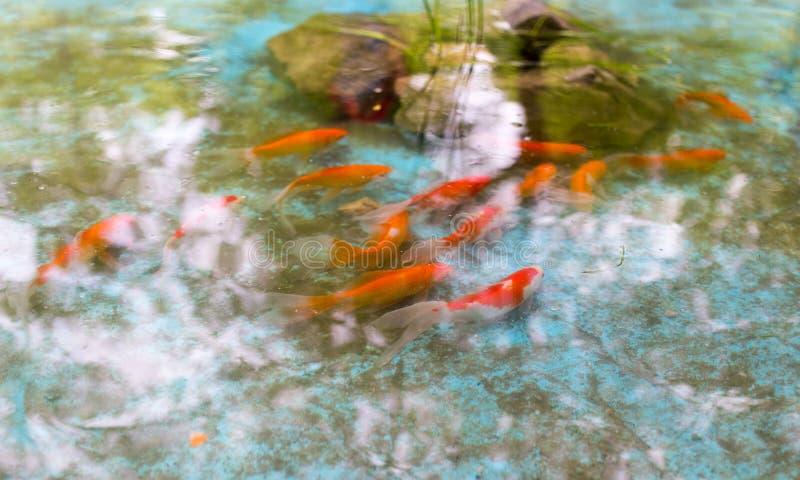 在水的表面的金鱼 库存照片