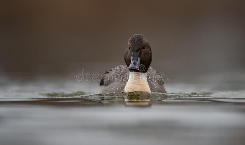 在水的针尾鸭鸭子 库存图片