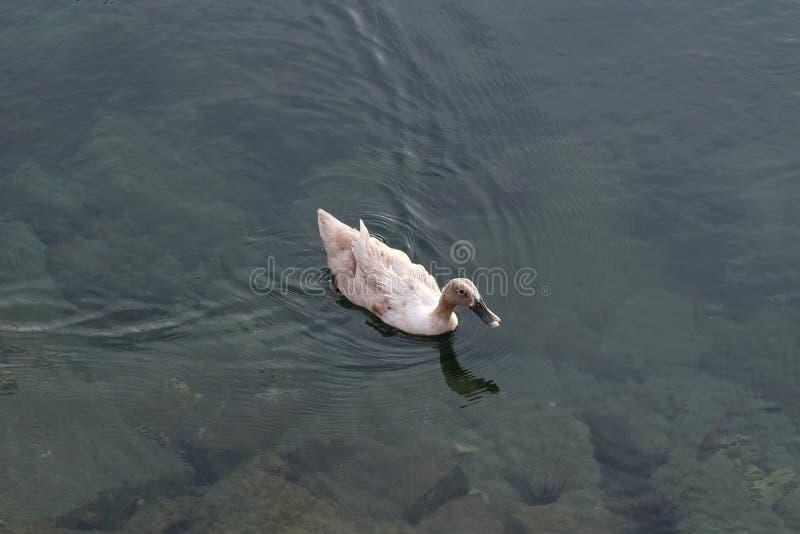 在水的鸭子游泳 库存照片