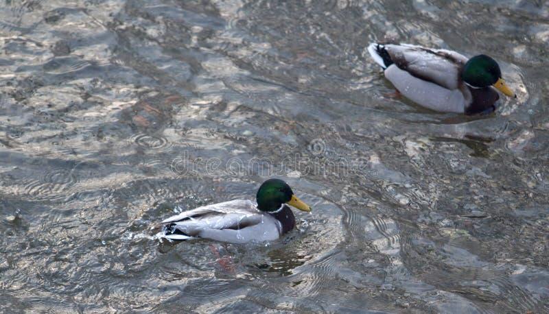 在水的鸭子 免版税图库摄影