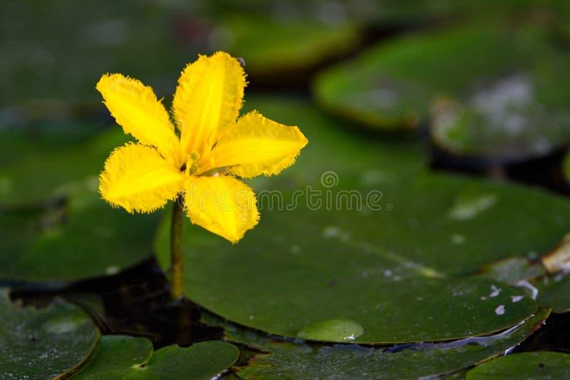 在水的黄色浮动心脏Nymphoides peltatum花 库存图片