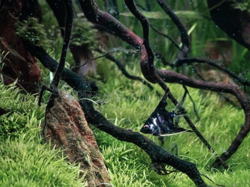 在水色scape的黑白神仙鱼游泳种植了tropica 库存照片