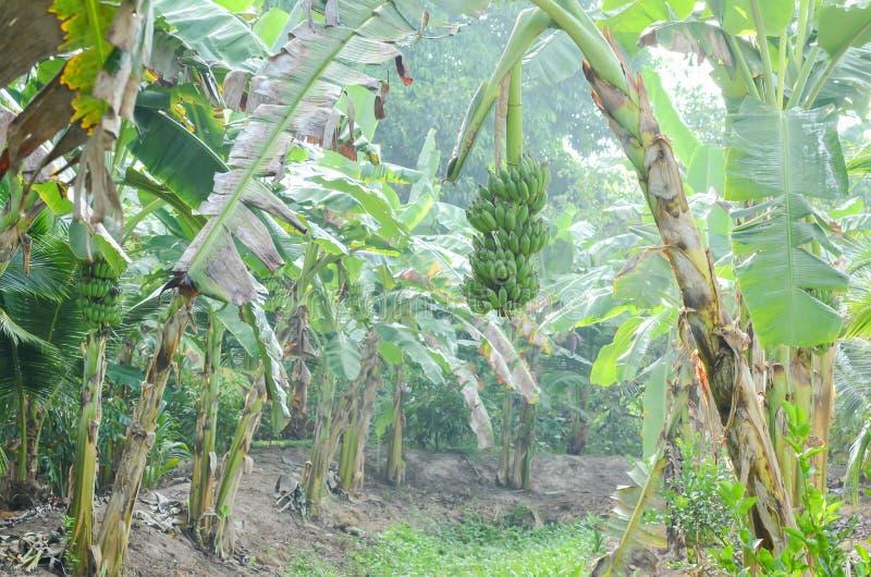 在水路旁边的香蕉种植园 库存图片