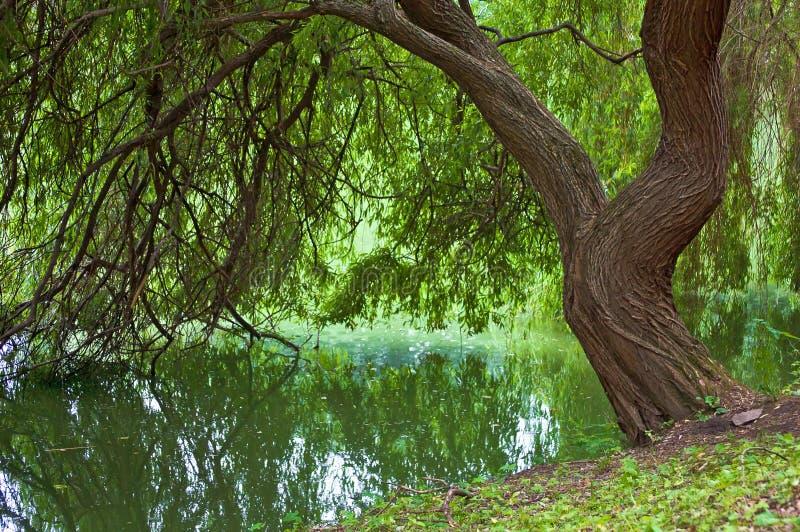 在水边缘的一棵杨柳 免版税库存照片