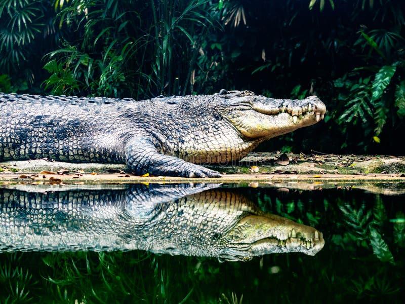 在水边缘的盐水鳄鱼 库存照片
