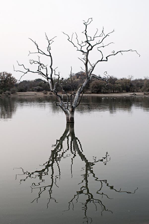 在水里面的死的树 图库摄影
