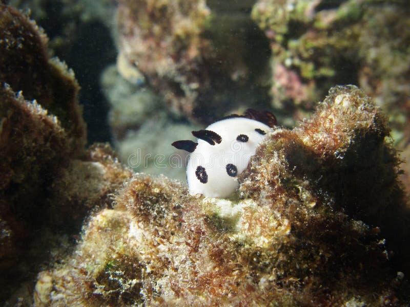 在水面下礁石蜗牛白色 免版税库存图片