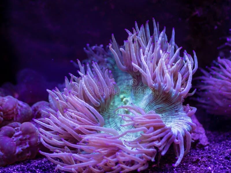 在水面下绿色和紫色海葵 库存照片