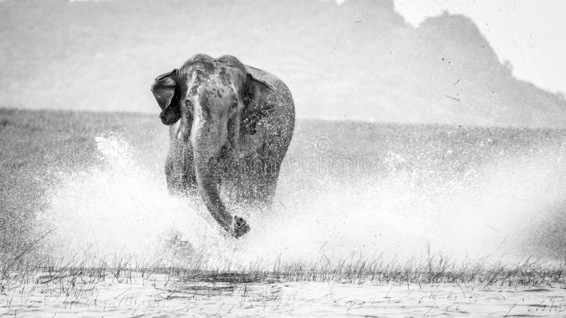 在水,斯里兰卡的充电的狂放的大象 免版税库存图片