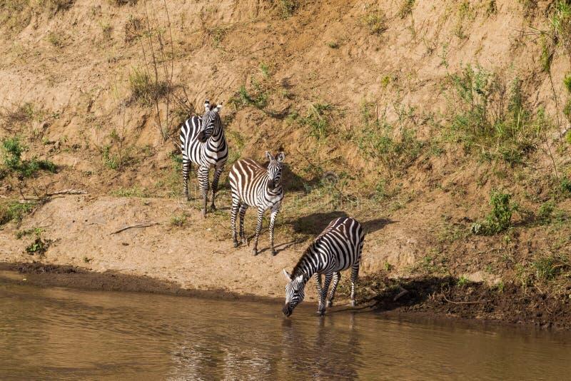 在水` s边缘的斑马 肯尼亚mara马塞语 免版税库存图片