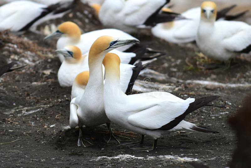 在求爱的狂放的gannets在Muriwai在新西兰 免版税库存图片