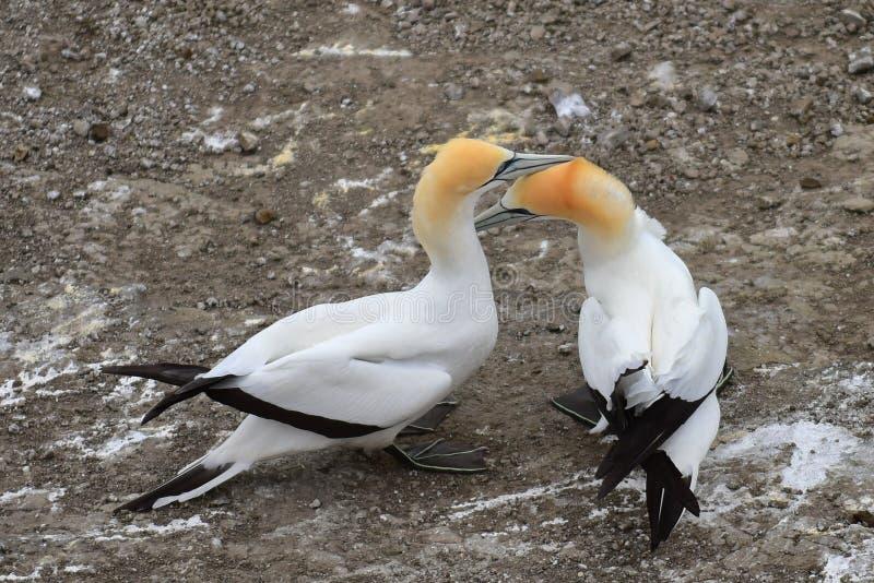在求爱的狂放的gannets在Muriwai,新西兰的西海岸 免版税库存照片