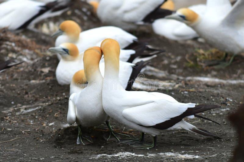 在求爱的狂放的gannets在Muriwai,新西兰 图库摄影