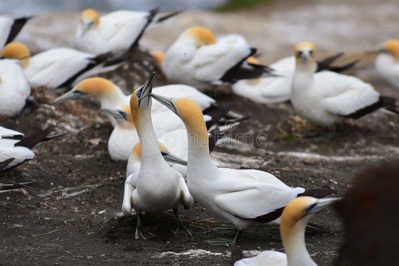 在求爱的狂放的gannets在Muriwai,新西兰 库存图片