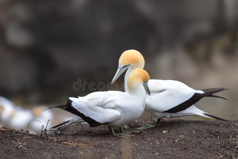 在求爱的狂放的gannets在Muriwai,新西兰 免版税库存图片