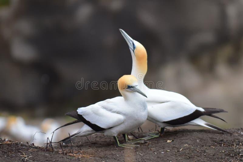在求爱的狂放的gannets在Muriwai,新西兰 免版税库存照片