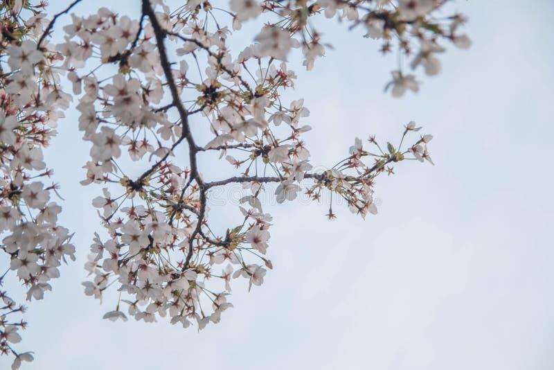 在汉城采取的美丽的樱花的图片,韩国 免版税库存图片