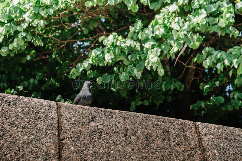 在江边的栏杆的城市鸽子风景的背景的 库存照片