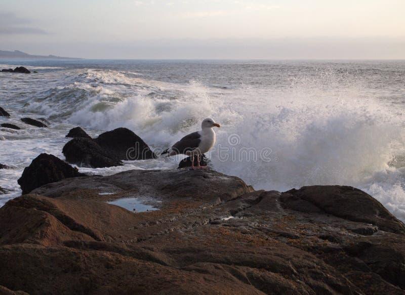 在江边的西部鸥 库存照片